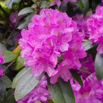 shutterstock_601228337_Rhododendron-150x150